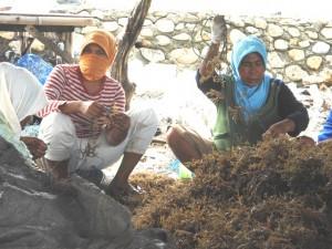Program klaster mandiri (rumput laut) bantaeng-sulsel